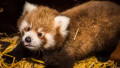 Panda červená z pražské ZOO.